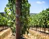 Lines of Vines