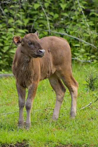 travel nature animals wildlife karnataka calf westernghats indiangaur indianbison indianforest bandipurnp