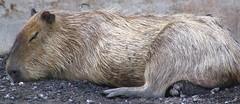 wombat(0.0), pig-like mammal(0.0), wildlife(0.0), animal(1.0), rodent(1.0), fauna(1.0), capybara(1.0),