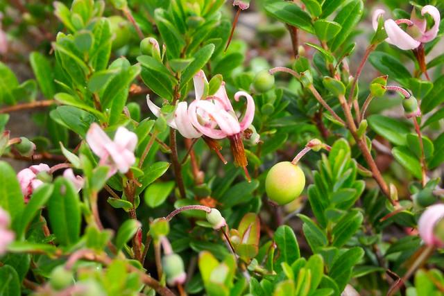 Vaccinium macrocarpon cranberry pianta da frutto della for Vaccinium macrocarpon