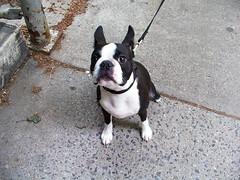 dog breed, animal, dog, pet, olde english bulldogge, toy bulldog, boston terrier, carnivoran, bulldog,