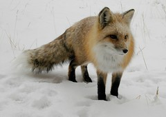 arctic fox, animal, winter, snow, mammal, fauna, red fox, wildlife,