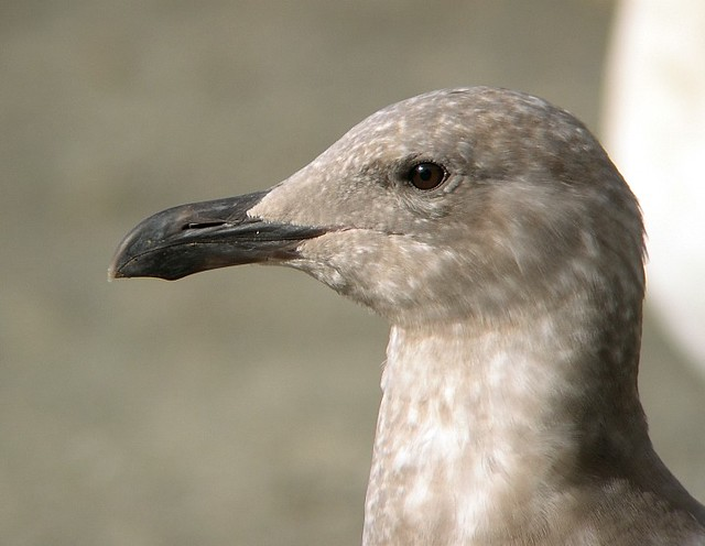 1st winter Glaucous-winged Gull (larus glaucescens)