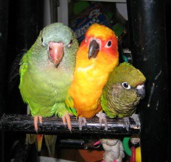 3 bird birdateers ..or 3 stooges