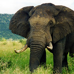 Big 5 - Elephant by TheLizardQueen