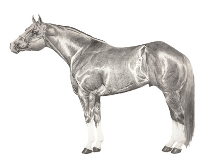 Quarter Horse Drawing