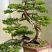 Chinese Juniper Bonsai by Eric Hunt.