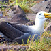 Small photo of Albatross