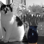 Black and White Cat - Blue Vase