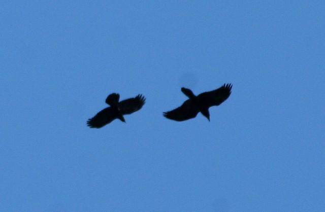 raven crow tail comparison essay
