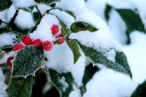 Holly in winter
