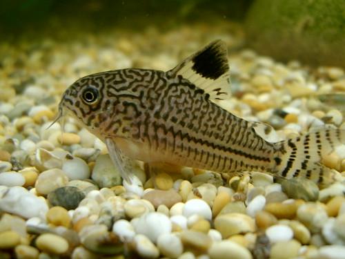Cory catfish flickr photo sharing for Cory cat fish