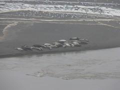 Elephant Seals and Sea Gulls