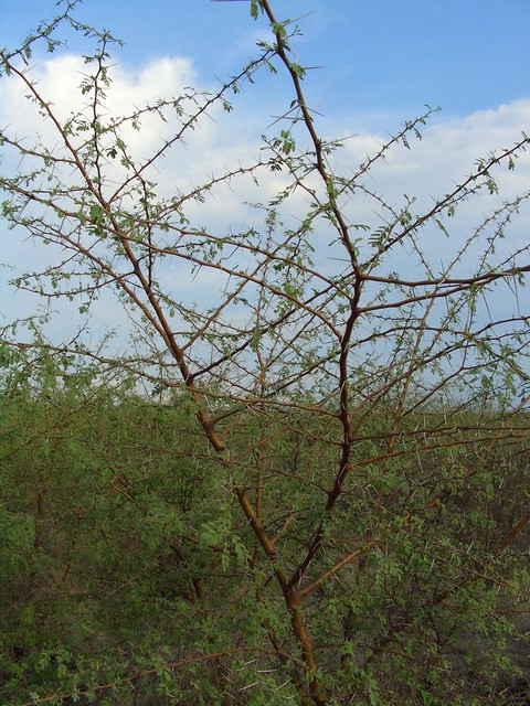 Header of Acacia nilotica