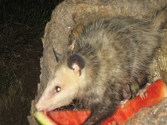 animal, opossum, virginia opossum, possum, common opossum, rat, mammal, fauna, whiskers,