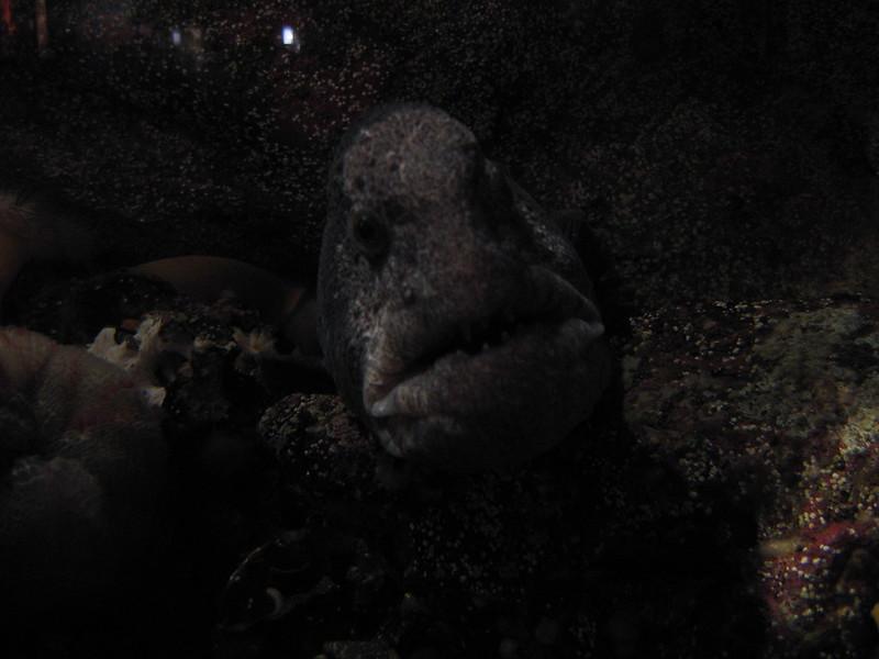 Angry Eel -  - Seattle Aquarium