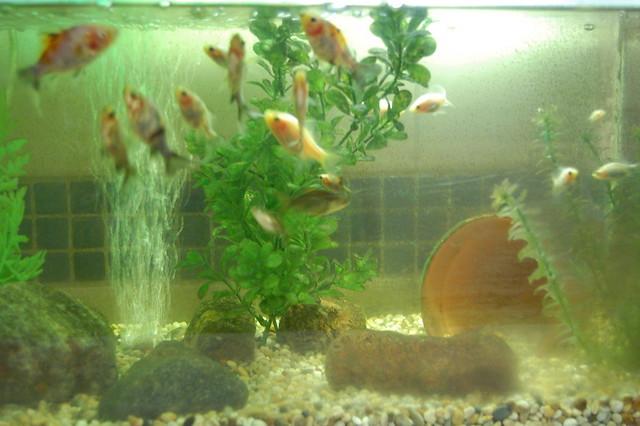 Goldfish babies