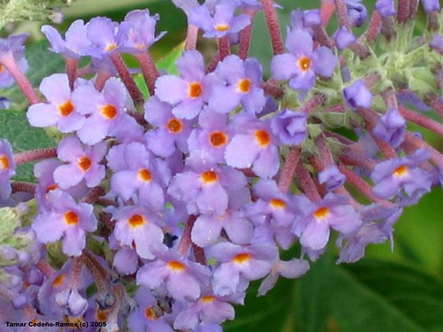 Buddleia Up Close