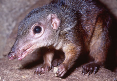 animal, fauna, close-up, whiskers, shrew, wildlife,