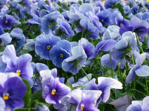 Blue Pansy Field