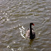 Black swan on the Thames