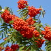 Rowan - Photo (c) Hans Kylberg, some rights reserved (CC BY)