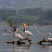 Dalmatian pelican (Pelecanus crispus) by gndaskalova