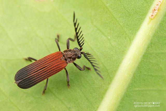 Net-winged beetle (Lycidae) - DSC_4212