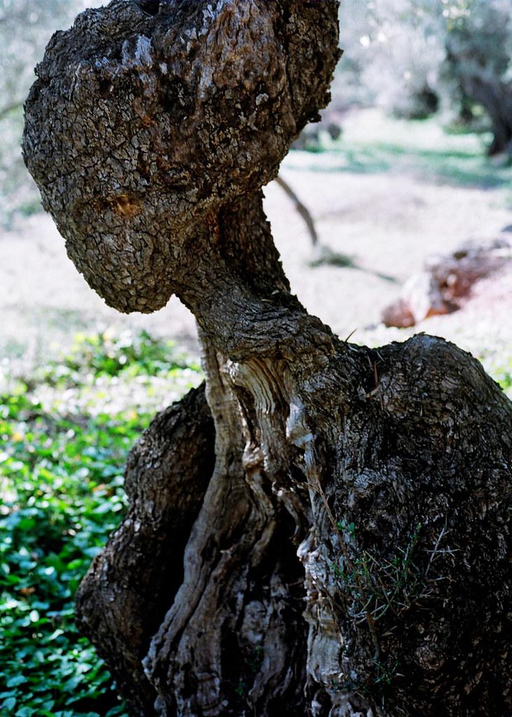 El rostre de les oliveres