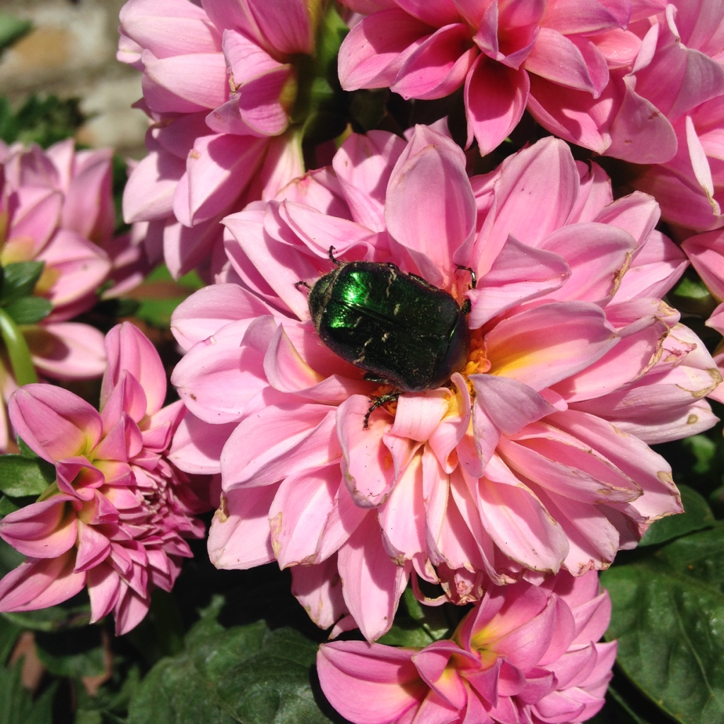 Dahlia and beetle