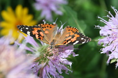 Painted Lady at the Butterfly Station