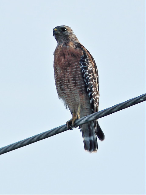 Red-shouldered hawk 2-20150803