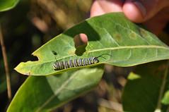 Improving Monarch Habitat on E4 Ranch