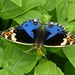 Blue pansy - male by LPJC