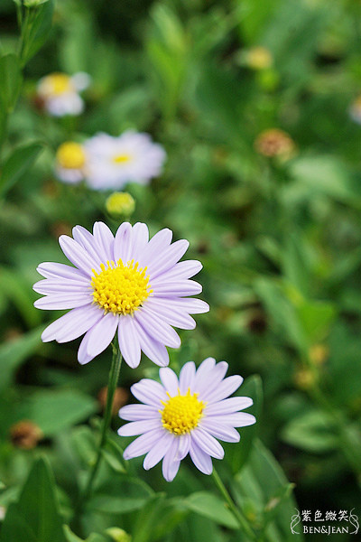 宜蘭旅遊▋大安藥園@員山~美麗的花也是治病的植物