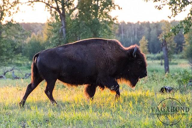 1024 - ve - bison walking fur with sun glow DSC_8609