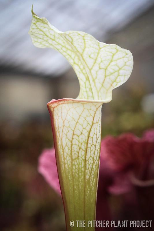 Sarracenia leucophylla 'Schnell's Ghost' x 'Adrian Slack'