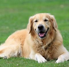 dog breed(1.0), animal(1.0), dog(1.0), hovawart(1.0), pet(1.0), nova scotia duck tolling retriever(1.0), golden retriever(1.0), carnivoran(1.0),