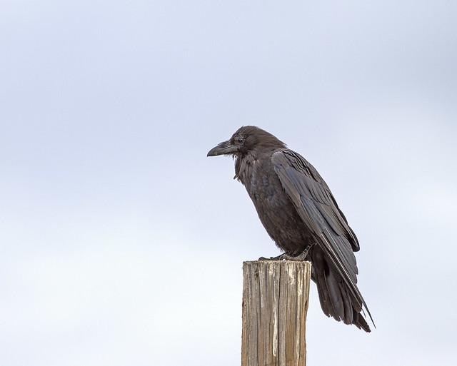 Raven 7d_2358