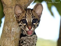 Ocelote (Leopardus pardalis)
