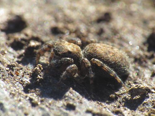 Euophrys cf. herbigrada female (Salticidae - Jumping Spiders)