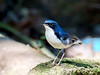 Siberian Blue Robin (Luscinia cyane) by David Cook Wildlife Photography