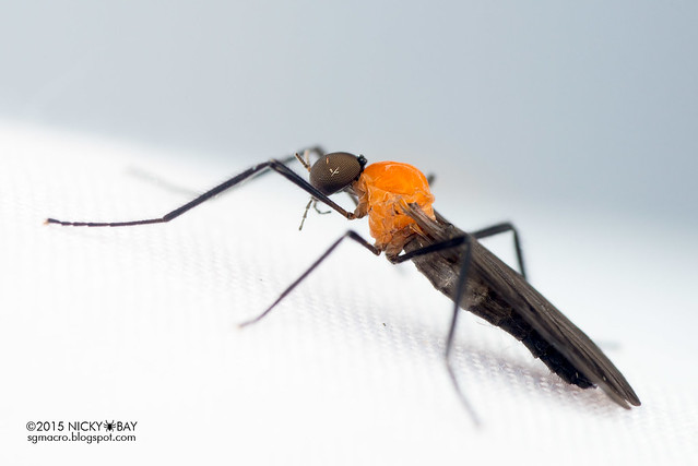 March fly (Bibionidae) - DSC_4724