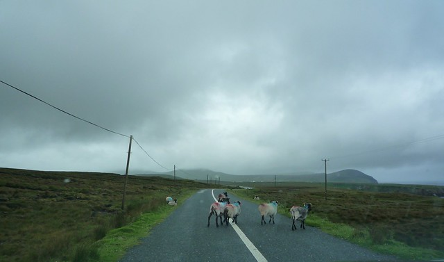 Sheep crossing the road in front of us in west Ireland.