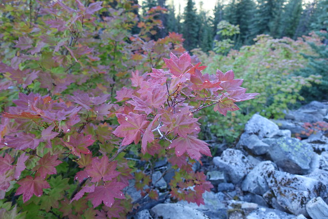 So dry out.  Vine maple changing color in July