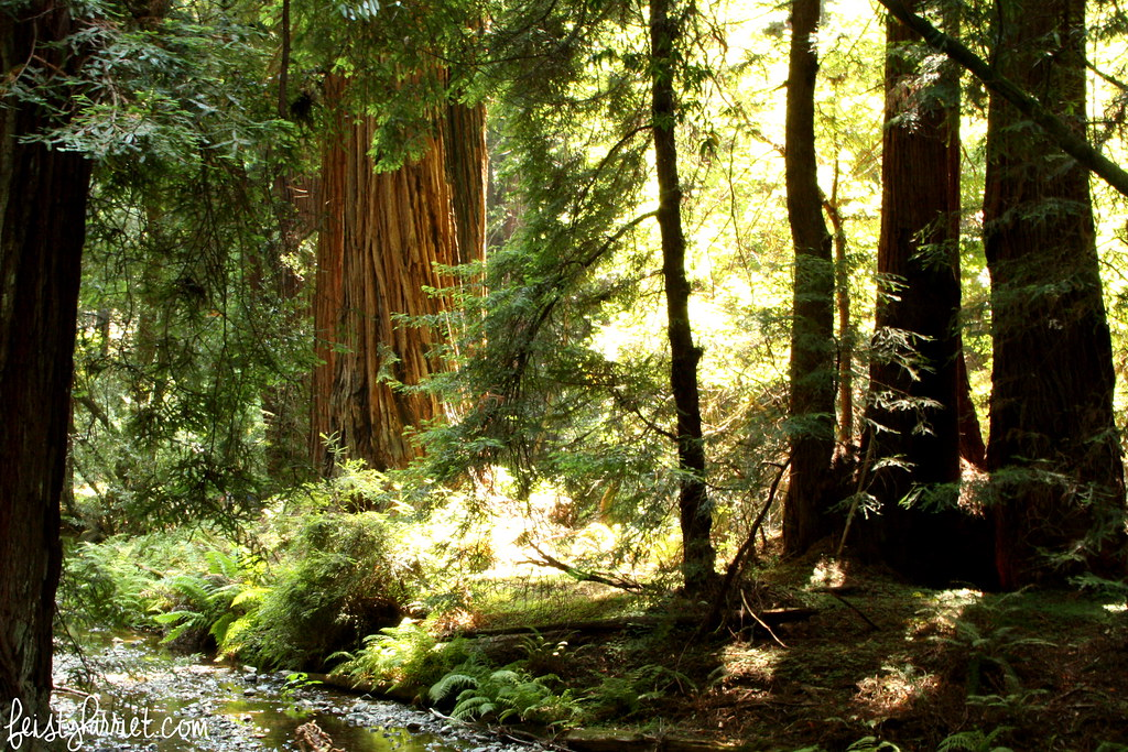 Muir Woods National Monument_feistyharriet_July 2015 (5)