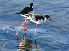 Black-necked Stilts at Alameda Point