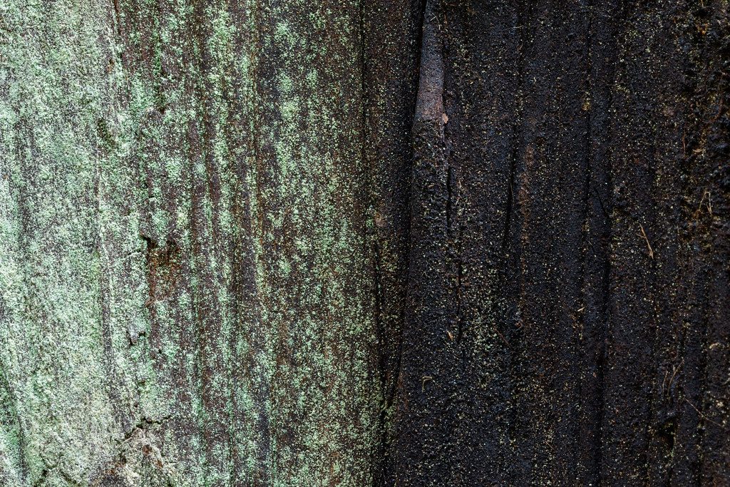 A close-up of redwood bark, green on the left from lichens, blackened on the right from fire