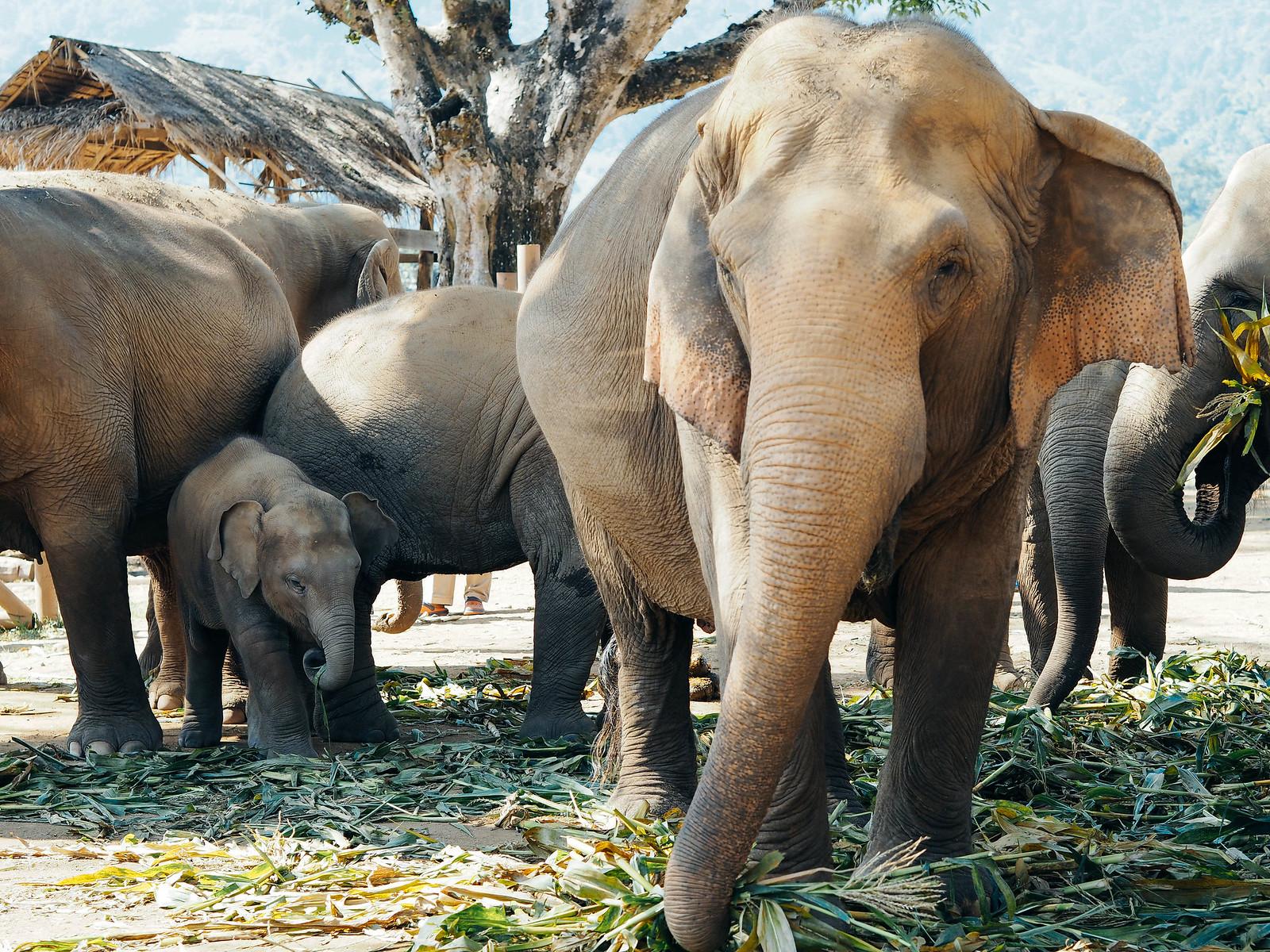 elephant nature park thaimaa
