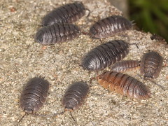 animal, invertebrate, insect, isopod, fauna,